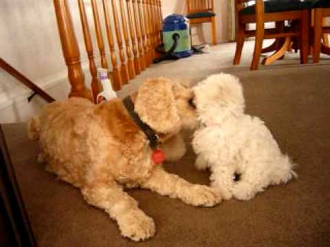 Bichon Frise puppy playing with Cocker Spaniel (Bella and Bosley)