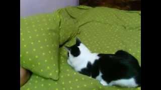 кот vs. подушка - сам себе дурак
