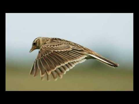 Ralph Vaughan Williams - The Lark Ascending (HD version) - Iona Brown & Marriner/ASMF