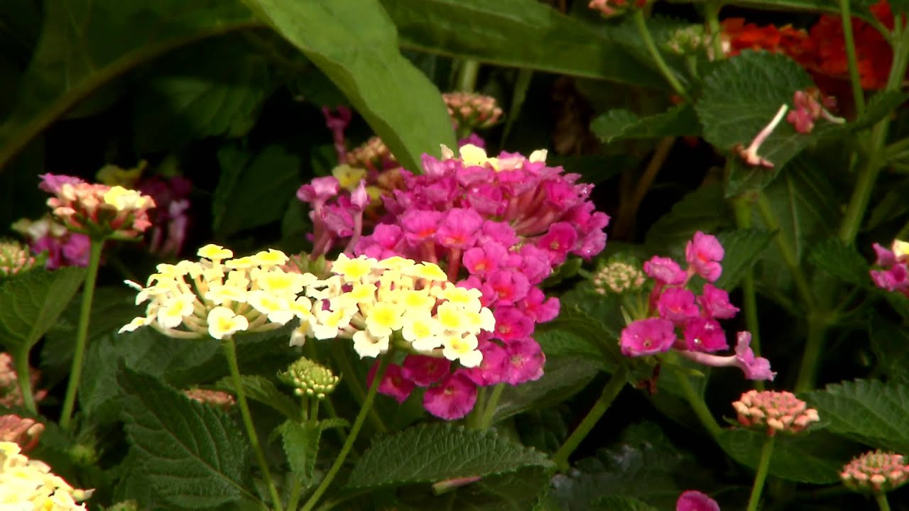 drought tolerant plants are the key to summer gardening youtube