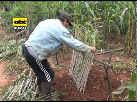 Preparaci n de ramas semilla de mandioca youtube - Preparacion de la tierra para sembrar ...