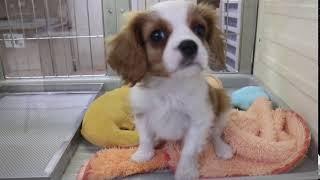 犬種:キャバリア・キング・チャールズ・スパニエル 生年月日:平成29年...