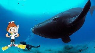 Самое большое животное в мире! Голубой кит / Синий кит