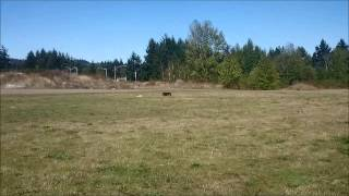 Cairn Terriers Lure Coursing In Nanaimo Bc