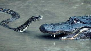 Python vs Alligator 16 - Real Fight - Python attacks Alligator