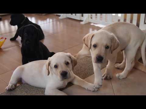 Labrador Puppies 45 Days