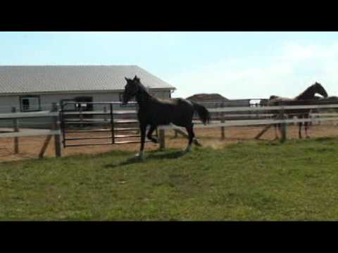 Beauty  2 Year Old Dutch Harness Horse 4 Sale