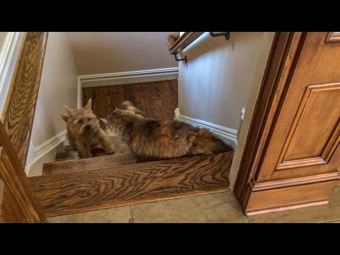 Norfolk Terrier Ernie Takes On Shania the Cat