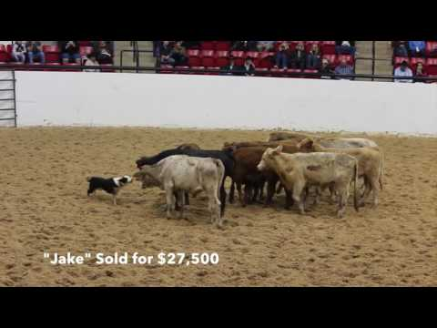 2015 NCHA Select Cow Dog Sale