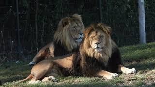 Leeuwen in ZooPark Overloon