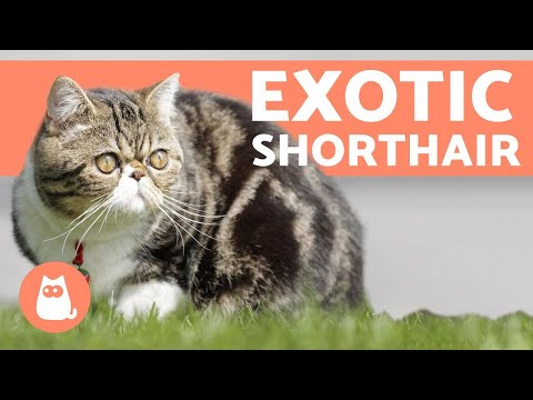 Exotic Shorthair - One of MOST LOVING Cat Breeds