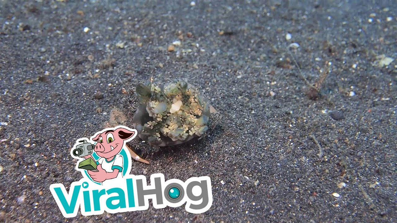 Crab Carrying Jellyfish for Camouflage
