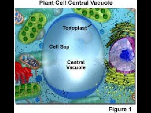 Biology// Tonoplast  // LADDER TIPS