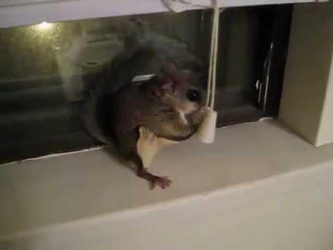 My Pet Flying Squirrel Deeb Jumping Around Amp Playing