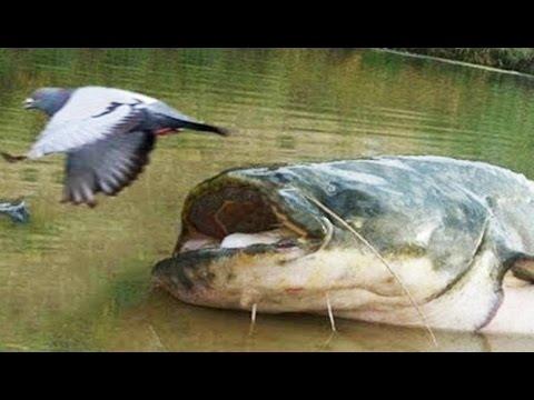 Cet énorme poisson mange des pigeons (silure) - ZAPPING SAUVAGE