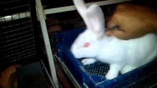 Кролики породы Термондская белая.