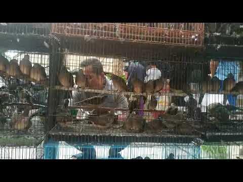 Ombyokan Perkutut Di Pasar Burung Lembang Ciledug Tangerang Youtube