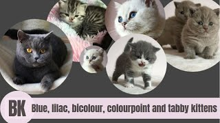 British Shorthair Kitten Colours: Blue, Lilac, Bicolour, Colourpoint and Silver Tabby