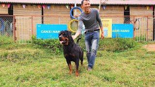 Trâu chó rottweiler Marvin gặp Bolt-Limit nhận họ hàng