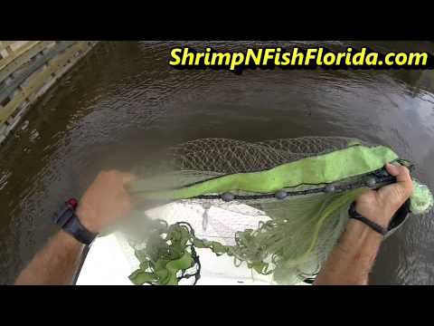 Florida white shrimp 5 17 2013 Travel Video
