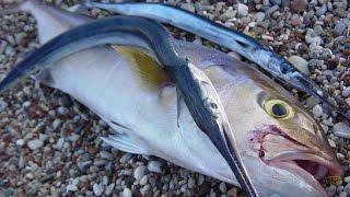 Akya Sinarit Lahoz balıkları için zargana ile canlı yem oltası hazırlama AVmarketi