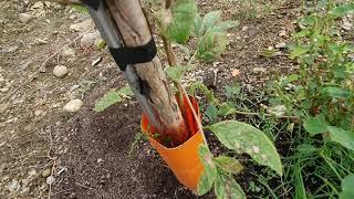 조경 가로수  농장 ㅣ 이팝나무 유목ㅣ