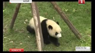 Большие панды переведены в другой разряд в Красной книге