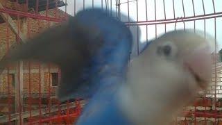 LOVEBIRD STRES hilang dengan TERAPI Suara LOVEBIRD ini