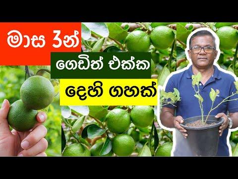 මාස 3න් ගෙඩිත් එක්ක ලොකු දෙහි ගහක්   Air Layering Lime Tree   Ceylon Agri   Episode 216