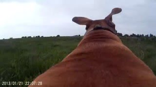 DOG with GOPRO cam strapped to Her back  4