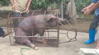 Cận cảnh Đụng lợn ăn Tết 2017