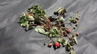 Почему сохнут кусты земляники (садовой клубники)