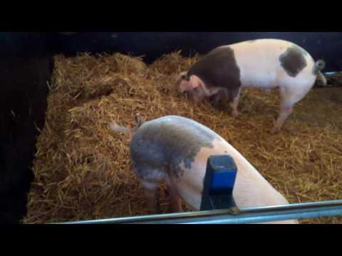 Finnish pigs of Fallkulla farm