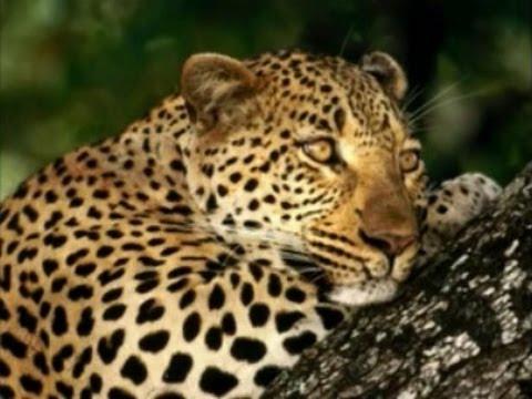 In loving memory of Alborz - The Persian Leopard - به یاد البرز پلنگ ایرانی