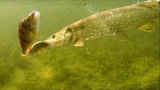 Рыбалка: щука атакует приманку мёртвую рыбку под водой, плотва или окунь. Полное видео.