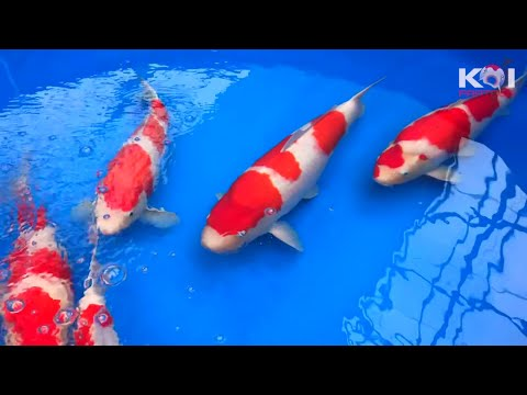 The Best KOI Fish Wins $10,000,- | Narita Koi Farm
