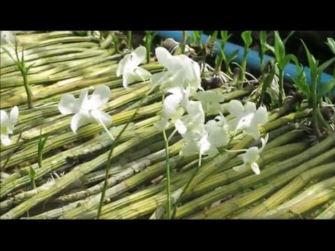 thailand travel – orchid farm in thailand