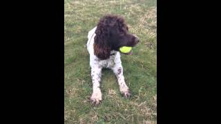 English Springer Spaniel And Her Tennis Ball
