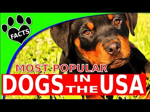 TopTenz: Top 10 Most Popular Dog Breeds in America 2017 - Animal Facts