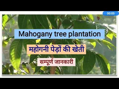 Mahogany Plantation, Full Information, Swietenia Macrophylla Plantation