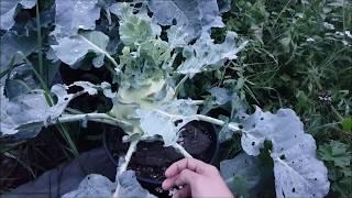 Warzywa w doniczkach ładnie rosną :) | Uprawa 2017