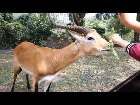 memberi-makan-hewan-lucu-ditaman-safari-/-feeding-animals-in-safari-park