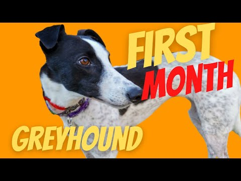 Adopting a second Greyhound -First Month Home