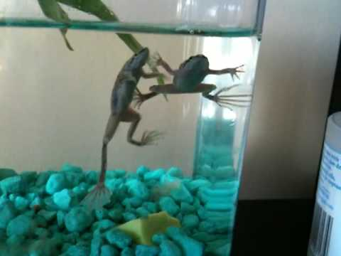 Aquatic frogs make great pets