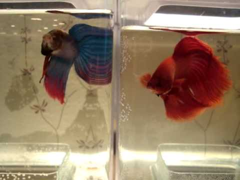 Betta fish siamese fighting fish in fight tanks for Why do betta fish fight