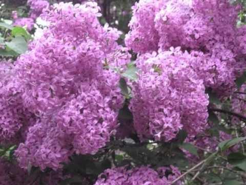 София ротару цветы сирени