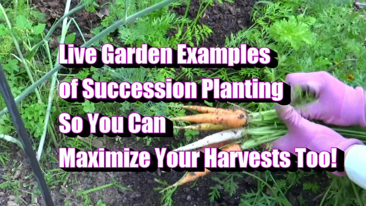 Garden Examples Of Succession Plantings   How To Maximize Your Harvest
