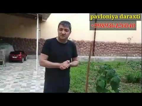 Павлония дарахти 1 йиллик кучат канчалик булди  Uzbekistan