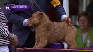 Norwich Terriers | Breed Judging 2021