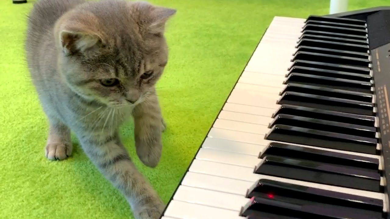 Kitten Street plays the piano with a laser pointer